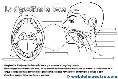 Aparato Digestivo Para Niños Web Del Maestro