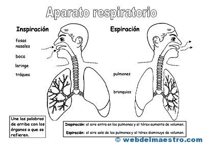Aparato Respiratorio Para Niños Web Del Maestro