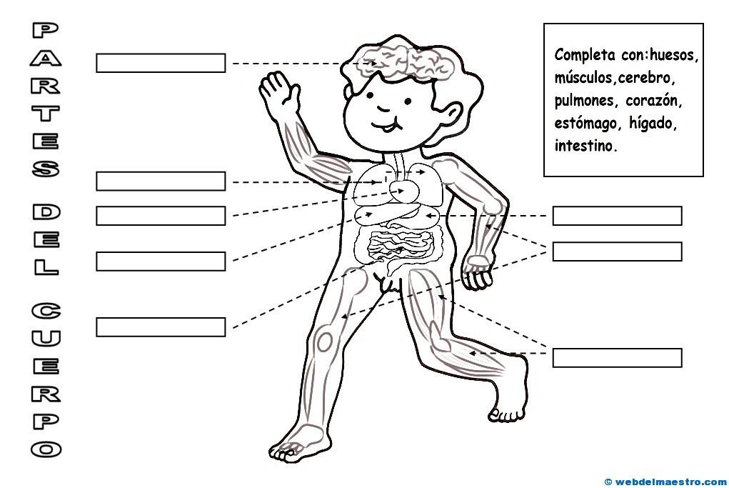 El cuerpo humano para niños (II) - Web del maestro