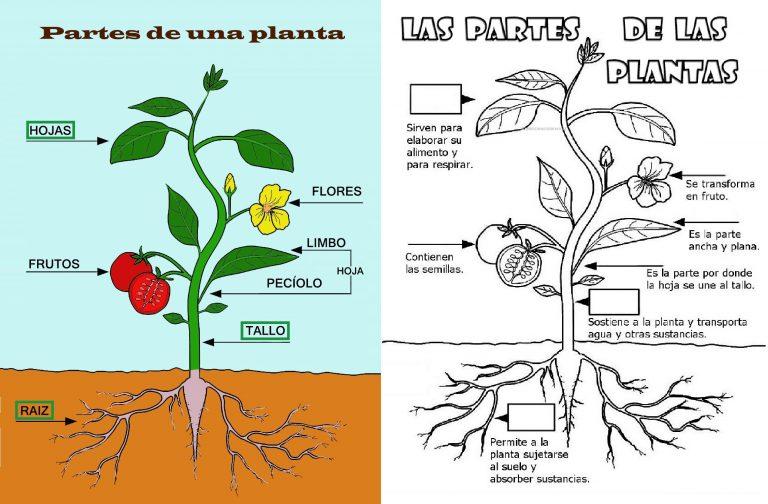 Partes De Una Planta Para Ni Os De Primaria Web Del Maestro