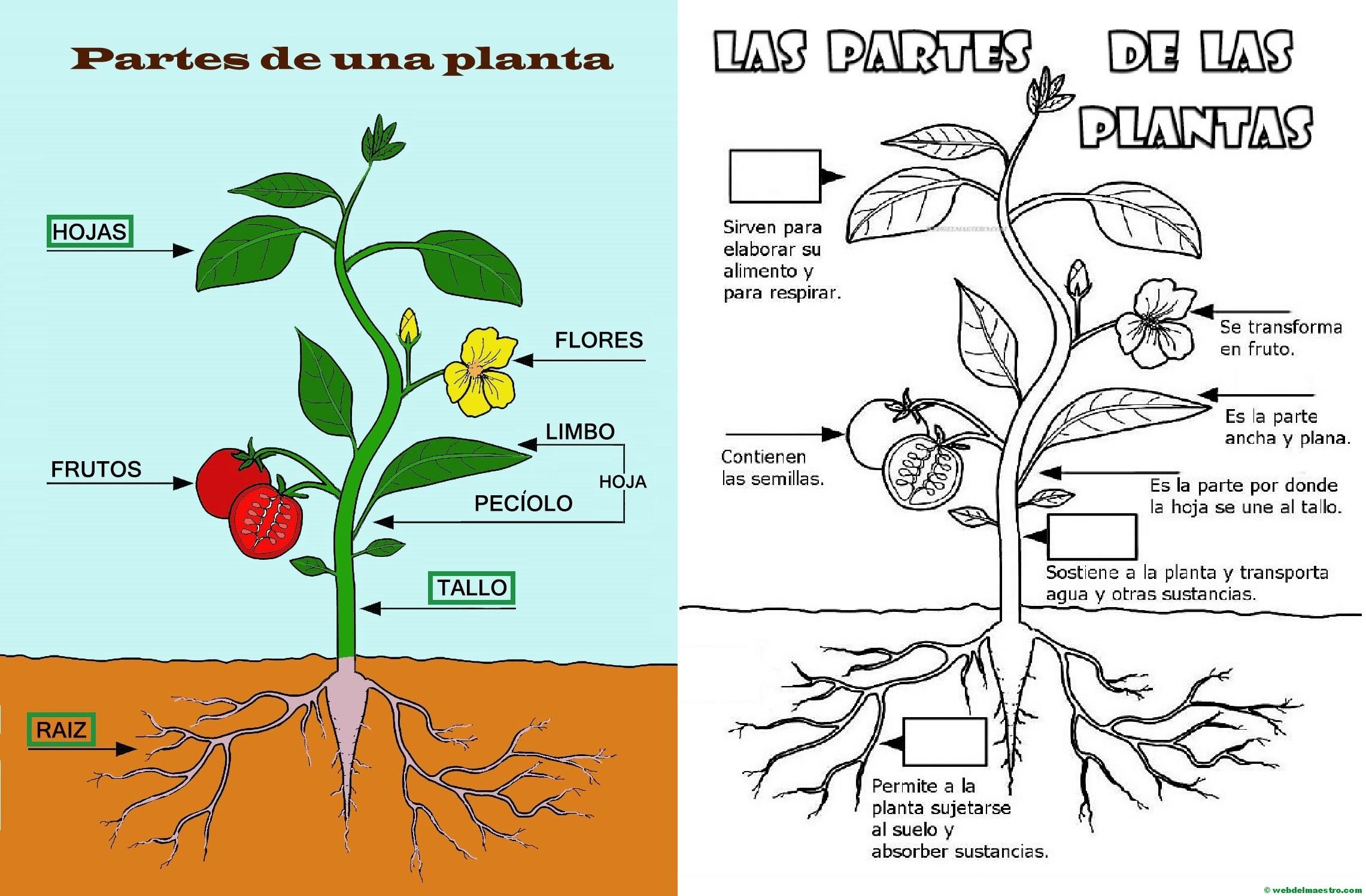 Partes de una planta para niños de Primaria - Web del maestro